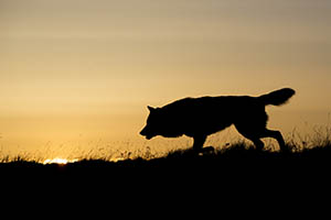 © Mikaelmales | Dreamstime.com - Silhouetted Wolf Hunting At Sunrise Photo