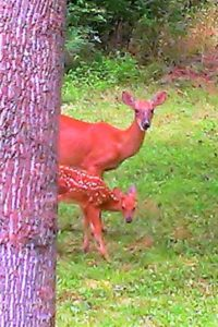 A doe and her fawn shyly peek out from behind tree.